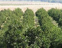 orchard (260 x 200).jpg